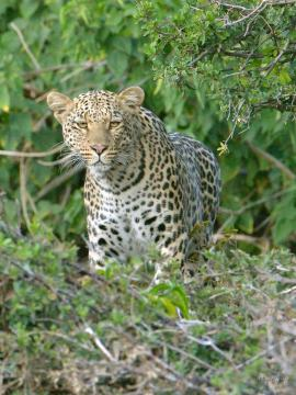 Young Leopard appeared silently, no wildlife seemed to notice it come or go.