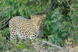 Young Leopard peering through the brush alongside the Majali River in Mashatu,