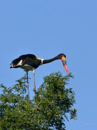 Female Saddle-billed Stork perched onto of a Jackalberry along the Majali river in Mashatu