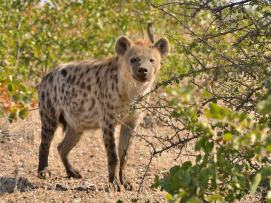 Inquisitive Hyaena in Mashatu