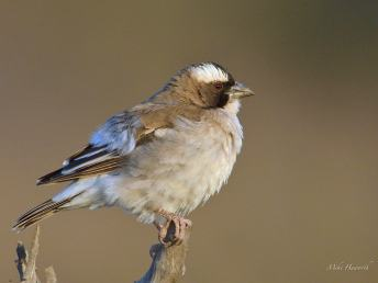 White-browed Sparrow-Weaver all puffed up against the cold that morning