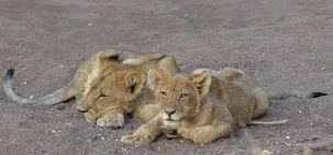 Two young cubs waiting quietly for their mother to return. They were in a cool river bed in Mashatu.