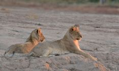 The last rays of sun lighting up these two young Lion's faces in Mashatu.