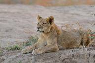 Young Lion cub at dusk in Mashatu