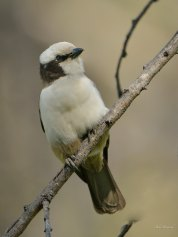 Southern White Crowned Shrike in Etosha