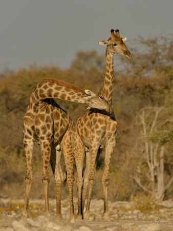 Young male Giraffe very impressed with his gal