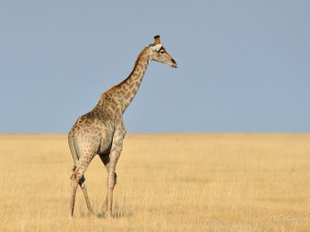 Lone female Giraffe on Andoni plain in Etosha far from any trees to browse