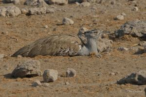 Kori Bustard lying among the rocks near the Chudob waterhole in Etosha