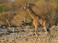 Young Giraffe at Klein Namutoni waterhole late in the afternoon