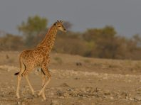 Young Giraffe close to Klein Namutoni waterhole in Etosha