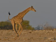 Young Giraffe cantering ajacent to Klein Namutoni waterhole in the late afternoon