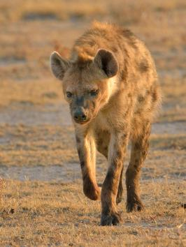 Hyaena returning from its foraging across Fisher's Pan in Etosha