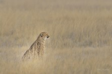 This female Cheetah blends into the long grass on Fisher's Pan in Eosha