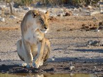 A Lioness watch some Zebra at a waterhole in Etosha