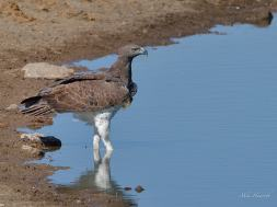 This Martial Eagle strode into the water at Chudob waterhole. There was not another bird in sight