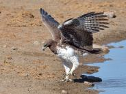 Having got its feet wet, this Martial Eagle danced its way out of the water after a long drink