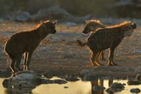 Hyaena at Klein Namitoni water hole as the sun was rising over Etosha