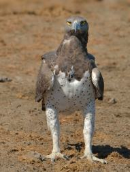 Magificent Martial Eagle - superior, regal and really big