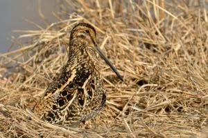The camouflage of this African Snipe was superb. I did not see it until it moved in the reeds at Marievale.
