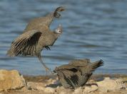Helmeted Guineafowl fighting at the water's edge at Klein Namutoni waterhole in Etosha