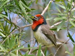 Black Collared Barbet feeding on berries
