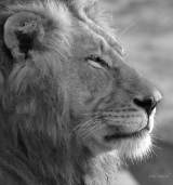 Large male Lion along the Mkuze river - cropped B&W