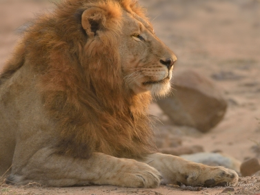 Large male Lion along the Mkuze river - in colour