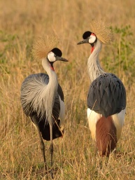 A pair of Grey Crowned Cranes in the Masai Mara