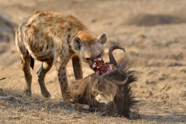 Young male Hyaena demolishing an unfortunate Wildebeest which much have made the Mara river crossing only to be killed by a predator on the west bank