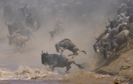 The Wildebeest hurl themselves into the boiling muddy water.