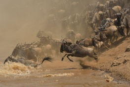 Wildebeest after Wildebeest irrespective of size.