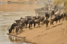 The Wildebeest do not just rush in to the river but are very cautious trying to assess the danger.