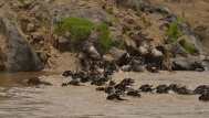 The Wildebeest get dragged down stream by the river where some of the exit points are very difficult because of the rock outcrops.