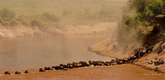 The Mara river turns a muddy brown where the animals are crossing.