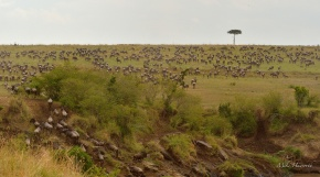 The sweet Red Oat grass awaits the Wildebeest and Zebra on the other side of the Mara river -so too do the predators.