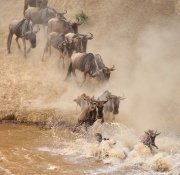 Animal after animal plunges into the fast flowing Mara river.