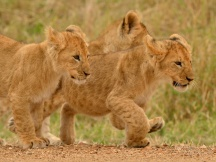 Three Lion cubs off to cause trouble