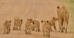 Two Lionesses with seven cubs took turns to look after the cubs