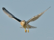 Juvenile Black Shouldered Kite hovering in the Mara