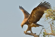 Iconic pose by this Tawny Eagle in the Mara