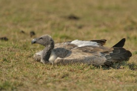 White-backed Vulture sunbathing in the Masai Mara