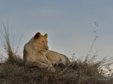 Young Lioness surveying the plains on the Mara from her vantage point
