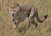 Female Cheetah coming back to a croton bush to pickup her very small cub in the Mara