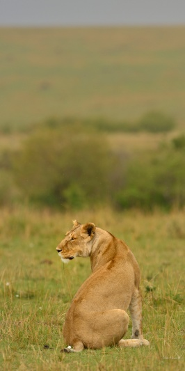 A lone LIoness wandered down to the Mara river to see what was on the dinner menu - Wildebeeste or Wildebeeste or perhaps some Zebra