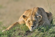 This Lioness was taking a well earned break from her cubs in the Masai Mara