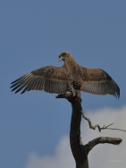 Young Bateleur Eagle drying its wings in the Mara