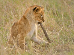 This young cub was playing all on his own having great fun killing this stick over and over