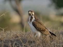 Augur Buzzard in the Mara