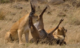 Two Lioness kill a Wildebeeste just after a Mara river crossing