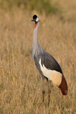 Grey Crowned Crane in Masai Mara